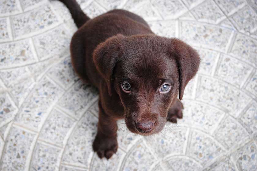 Are Labs Good Apartment Dogs