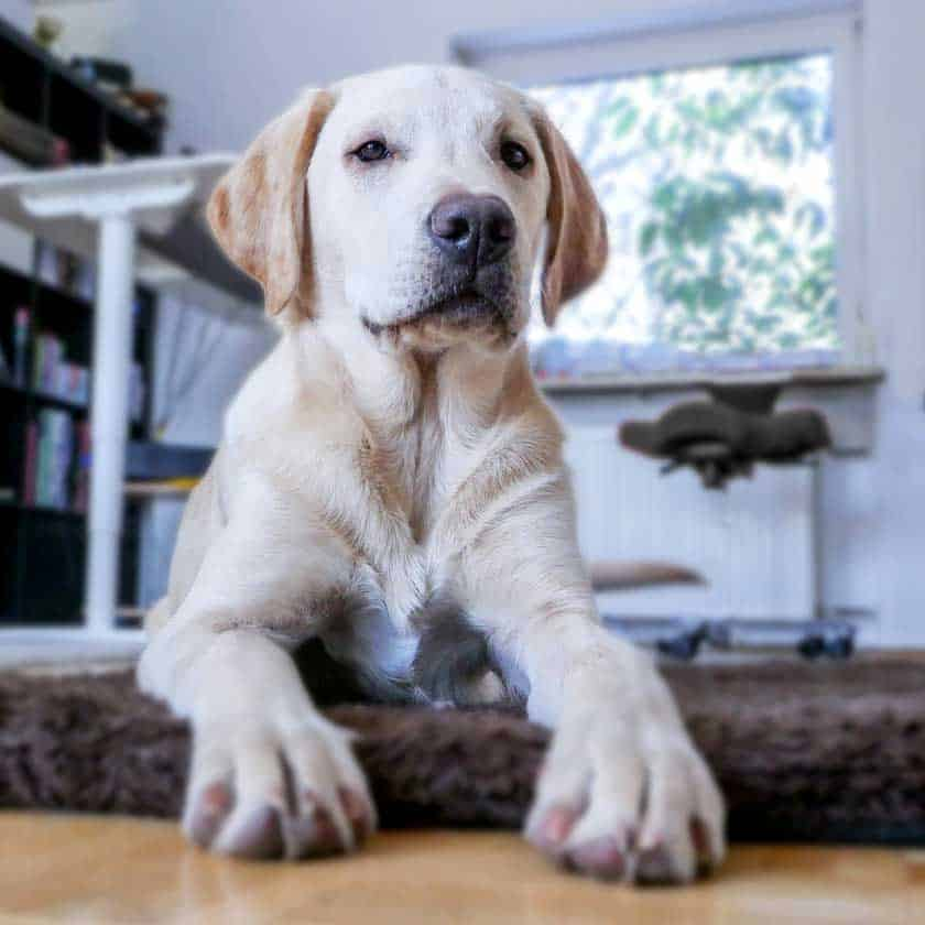Good Dogs For Apartments: Are Labs Good Apartment Dogs?