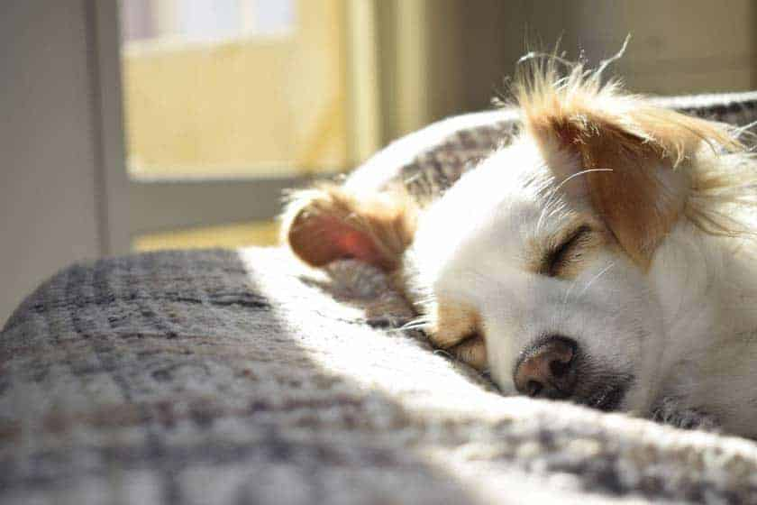 21 best lazy dog breeds for apartment living citydogslife