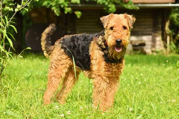 airdale terrier first dog