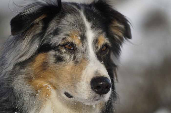 Are Australian Shepherds good apartment dogs