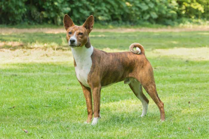 Are basenjis good apartment dogs?