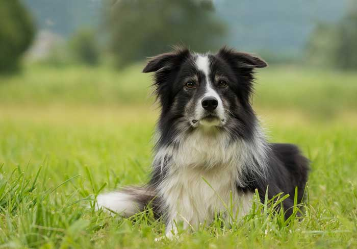 Are Border Collies good apartment dogs?