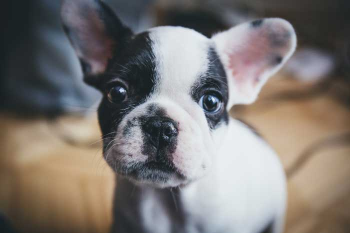 Are Boston Terriers good apartment Dogs?