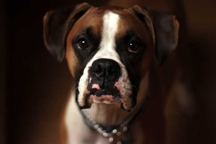 are boxers good apartment dogs