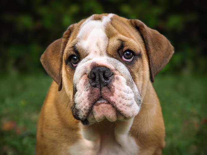 are bulldogs good apartment dogs