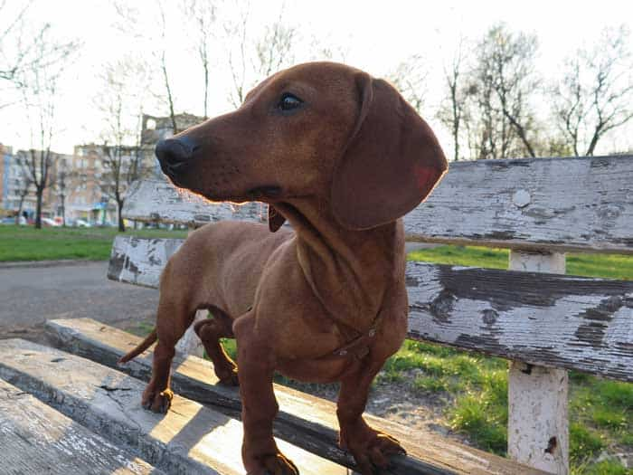 Are Dachshunds good apartment dogs?