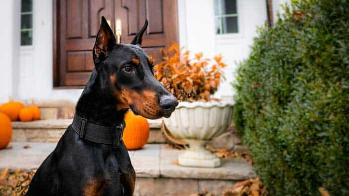 Are Dobermans Good Family Dogs