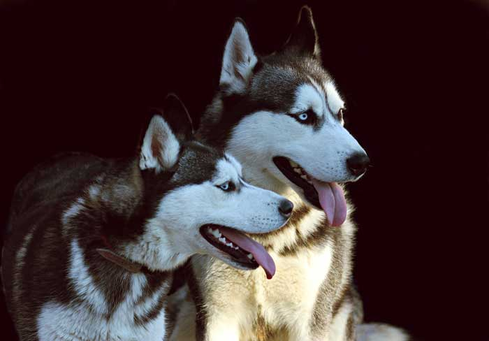 Are Huskies good apartment dogs?
