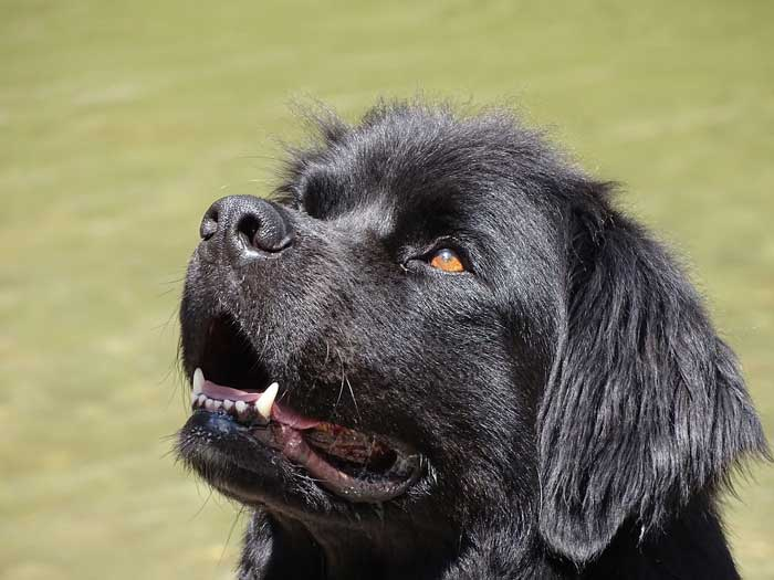 Are Newfoundlands good apartment dogs?
