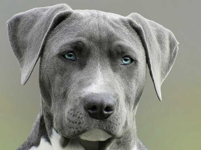 Guard Dog Breeds For Apartment Life