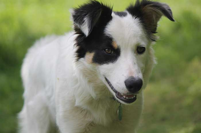 Care tips for Border Collies