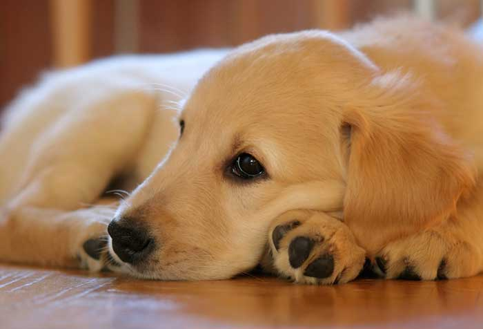 Caring for Golden Retrievers in an apartment
