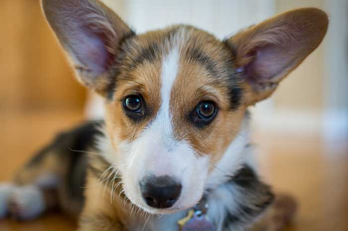 Corgi First Dog