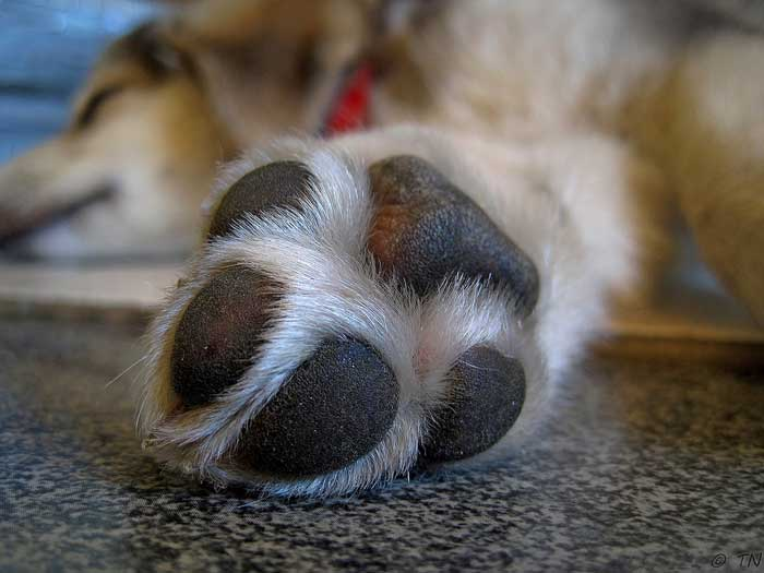Dog paw wound