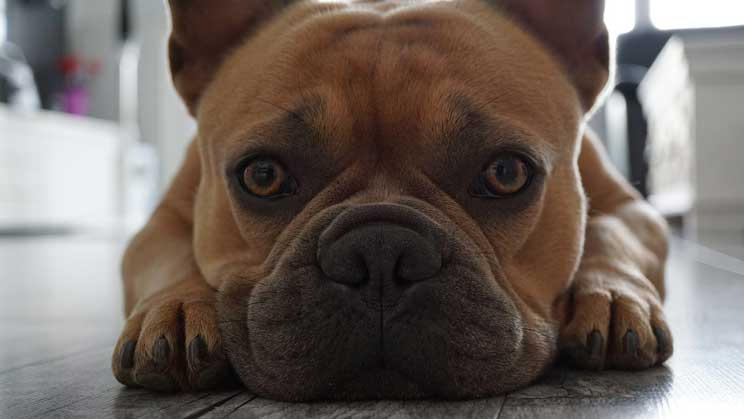 Are French Bulldogs Good Family Dogs?