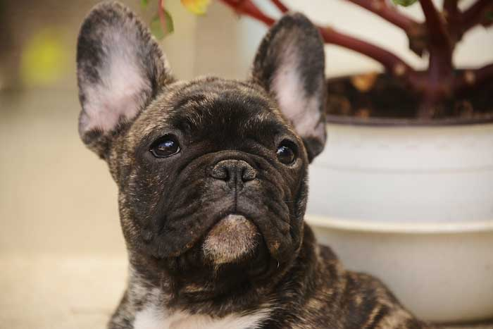 Frenchie Grooming Needs