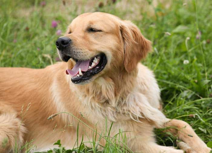 Golden Retrievers Pros and Cons