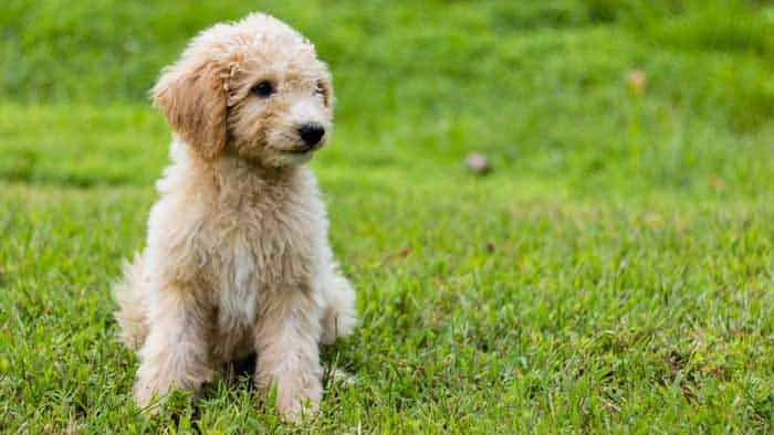 Goldendoodle Pros and Cons