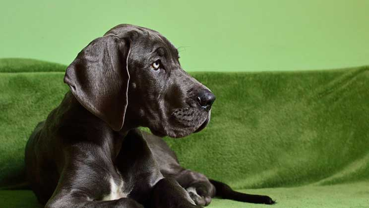 Are Great Danes Good With Kids?
