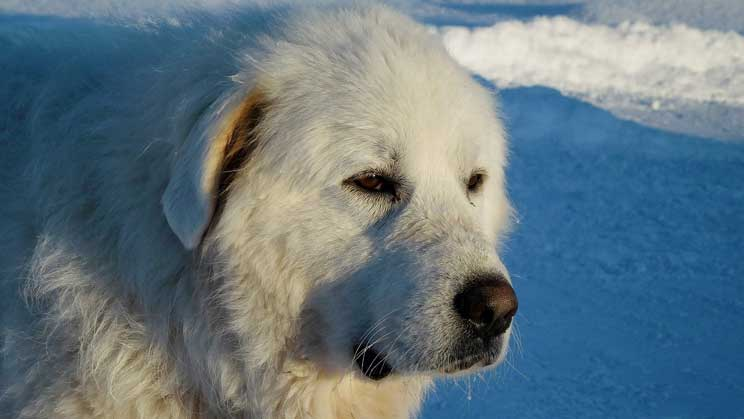 Are Great Pyrenees Good Family Dogs?