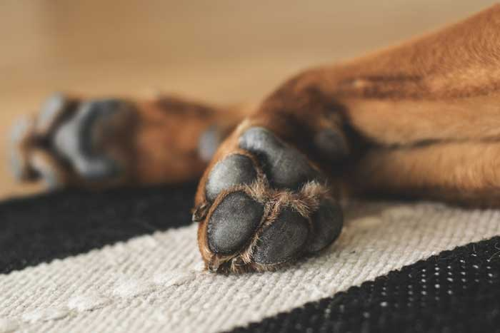 how to clean dog paws after walk