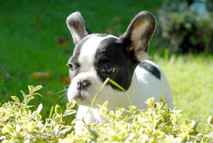 Living with a Boston Terrier in an apartment
