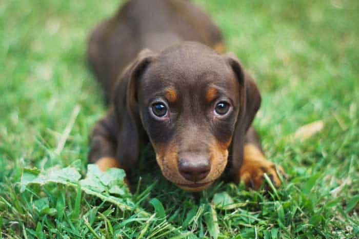 Living with a Dachshund dog