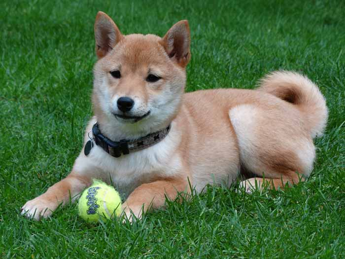 living with a Shiba Inu in an apartment