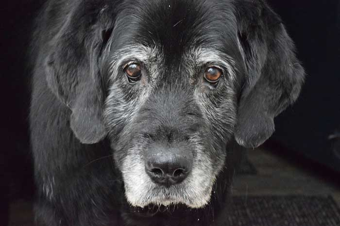 Old dog's face