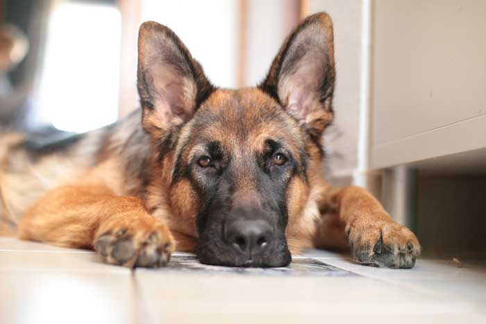 Pros and Cons of Owning a German Shepherd
