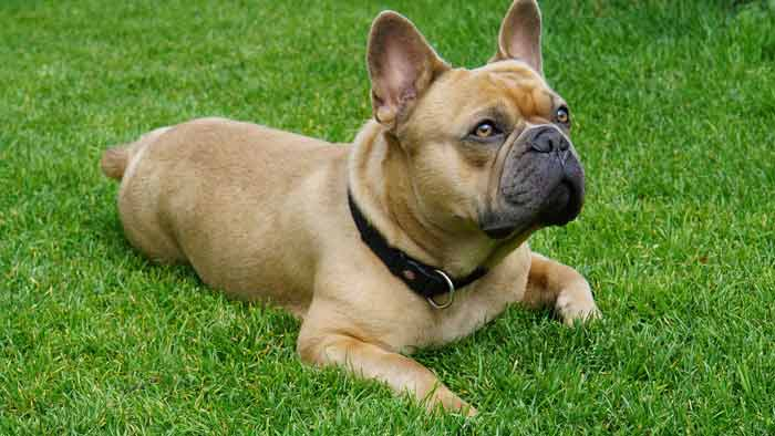 Owning a new French Bulldog