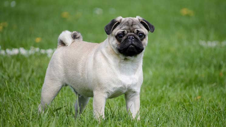 Are Pugs Good with Kids?