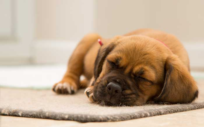 Puppy sleeping in an apartment