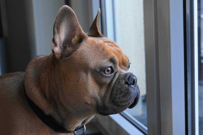 Tips for Raising a French Bulldogs in an Apartment