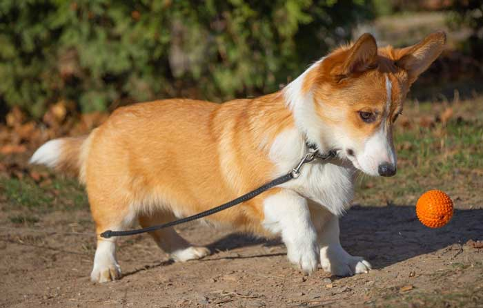 Why people love Corgis?